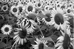 Sunflowers-No.-2-1980