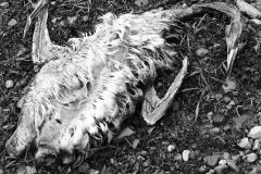 Cormorant-Tobermory-2011